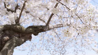 Low angle focus change of large cherry blossom with twisted trunk gently swaying in breeze
