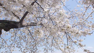 Low angle of blooming cherry blossom rustling in breeze