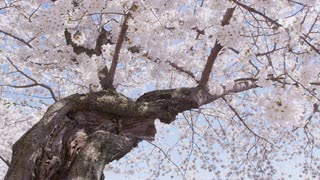 Low angle pan of large blooming cherry blossom