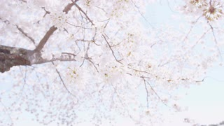 Low angle shallow focus of blooming cherry blossom