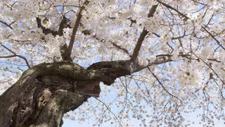 Low angle shot of large blooming cherry blossom with twisted trunk