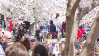 Many people walking in multiple directions under cherry blossom trees during Cherry Blossom Festival in Washington, DC
