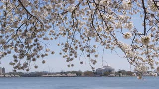 Overhanging cherry blossom branches rustle in breeze with Jefferson Memorial in distance in Washington, DC