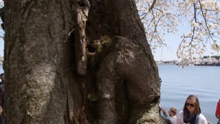 Pan from closeup of tree trunk to people passing by the Potomac river in Washington, DC with the Thomas Jefferson Memorial in the background