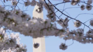 Pan of Washington Monument seen through out-of-focus branches of cherry blossom, Washington, DC