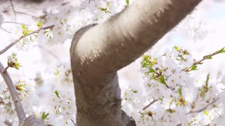 Panning closeup amongst the branches of a cherry blossom tree in full bloom