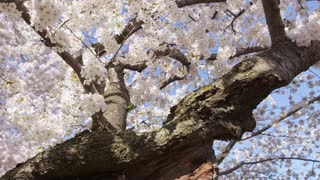 Panning low angle view through the branches of a cherry blossom tree in full bloom against clear blue sky