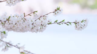 Shallow focus closeup of white cherry blossoms in full bloom gently moving in breeze