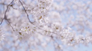 Shallow focus of blooming cherry blossom in gentle breeze