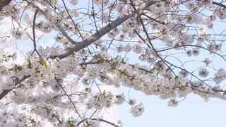 Slow pan of cherry blossom tree branch with full blooms against clear blue sky