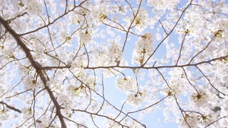 Sunlit cherry blossom branches rustle in the breeze against a blue sky