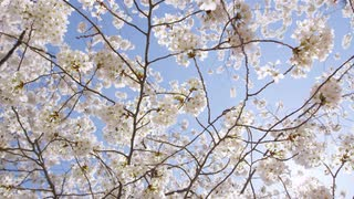Sunlit cherry blossom branches sway in the breeze