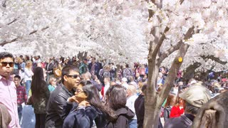 Tourists gather under cherry blossoms during Cherry Blossom Festival in Washington, DC