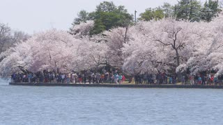 Tourists walk along shore of Potomac under cherry blossoms during Cherry Blossom Festival in Washington, DC