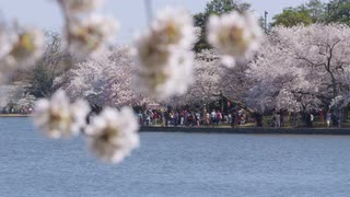 View across body of water of people walking along shoreline under cherry blossom trees during Cherry Blossom Festival, Washington, DC