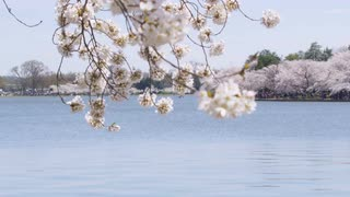 View of lake through branches of white flowers and a shoreline of cherry blossom trees during Cherry Blossom Festival in Washington, DC