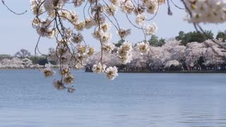 View through branches of cherry blossom tree and calm body of water with more cherry blossom trees and people walking in multiple directions on opposite shoreline