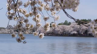 View through branches of cherry blossom tree over calm water toward people walking in multiple directions under cherry blossom trees along shoreline