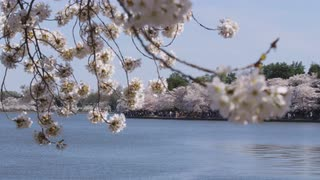 View through branches of cherry blossom tree over calm water with people walking in multiple directions under more cherry blossom trees along opposite shoreline