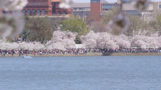 White birds flying over the Potomac river with people along shoreline under cherry blossom trees and large brick buildings in the background