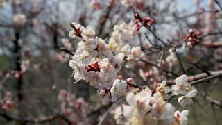 Cherry Blossom trees, Nature and Spring time background.