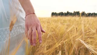 Woman's hand running through wheat field. Girl's hand touching wheat ears closeup. Harvest concept. Harvesting.