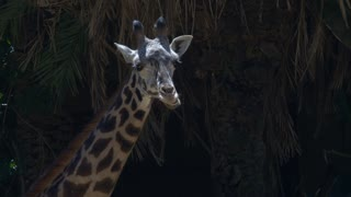 GIRAFFE GIVES ITS TONGUE A WORKOUT.  LONG LENS CLOSE UP OF A YOUNG GIRAFFE.  SHOT IN 4K, 10 BIT, APPLE PRO RES 422.