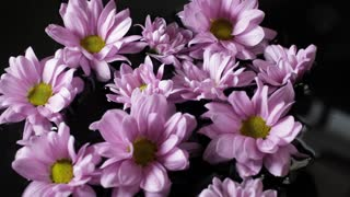 CU Group of lavender daisies floating on water