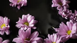 CU Lavender daisies floating on water