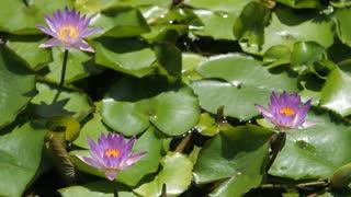 CU LD Purple Water Lilies in Pond