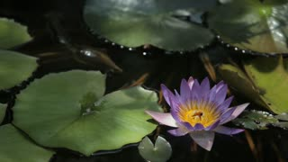 CU LD Purple Water Lilly in Pond