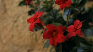 CU LD Red Flowers Blowing in Wind / Tuscany, Italy