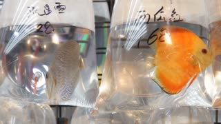 CU Live fish in plastic bags filled with water