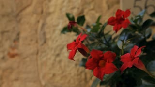 CU TD Red Flowers in front of Wall / Tuscany, Italy