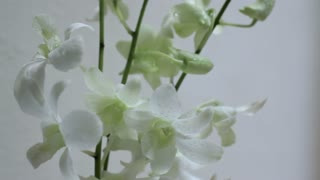 CU White orchids against white background