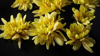 CU Yellow Chrysanthemums floating on water