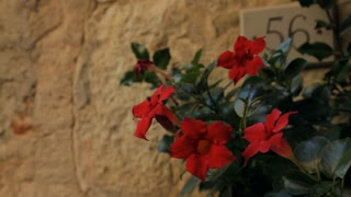 MH LD Red Flowers in front of Wall / Tuscany, Italy