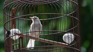 MS Bird in wooden cage outdoors / Hong Kong, China