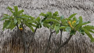 MS Plants in front of thatched roof / Indonesia