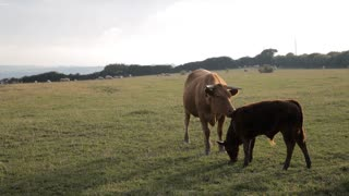 WS Cow Licking Baby Calf in Field / Cornwall, England, UK