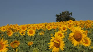 WS DS Field of Sunflowers Swaying in Breeze / Tuscany, Italy