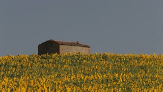 WS farmhouse surrounded by field of sunflowers / Tuscany, Italy