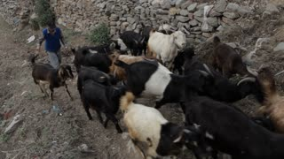 WS HA Farmer with herd of goats walking up dirt road / India