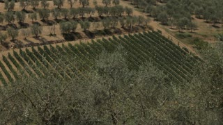 WS HA TD Vineyard and orchard / Tuscany, Italy