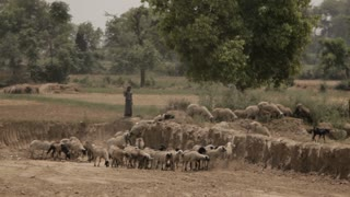 WS Herd of goats walking through field / Agra, India