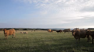 WS LD Herd of Cows and Sheep Grazing in Field / Cornwall, England, UK
