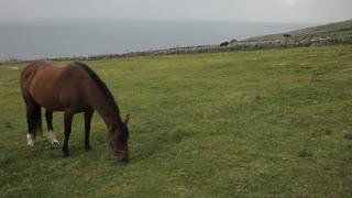 WS LD Horse Grazing in Field near Sea / Ireland