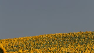 WS PAN farmhouse surrounded by field of sunflowers / Tuscany, Italy