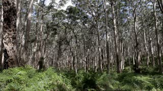 WS PAN Wind blowing through trees in forest / Australia