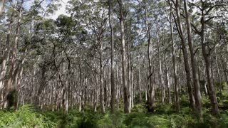 WS TU Canopy of forest / Australia